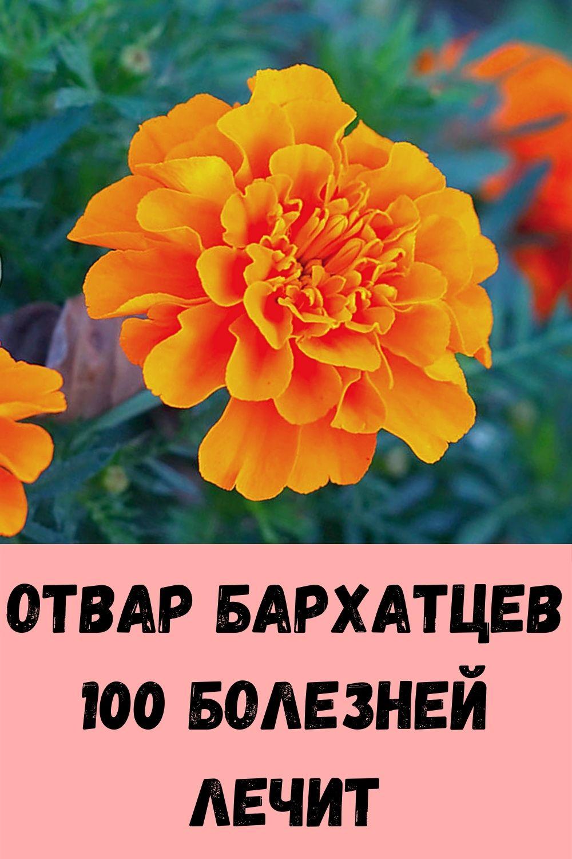Отвар бархатцев 100 болезней лечит