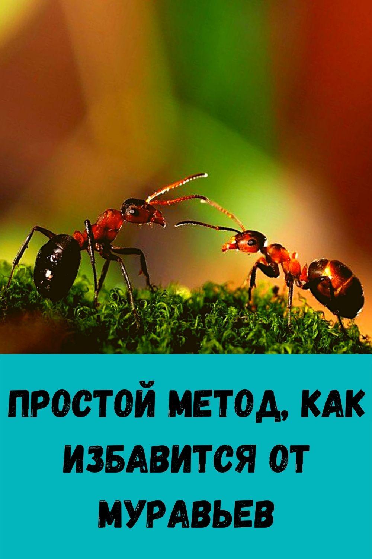 Простой метод, как избавится от муравьев