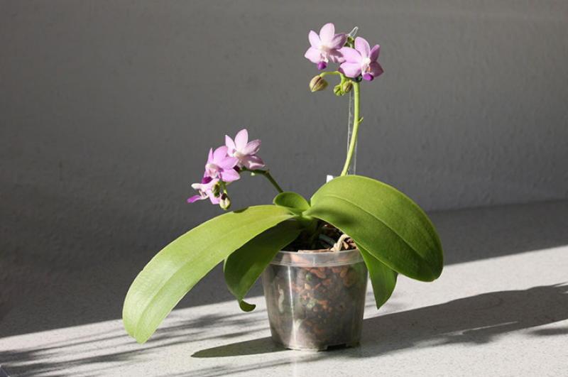 9 правил помогающих добиться буйного цветения орхидей