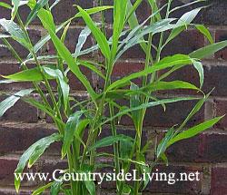 Имбирь, выращивание дома. Корень имбиря, фото. Растение имбирь