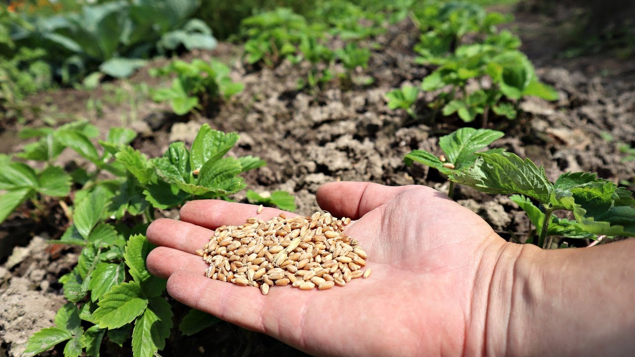 Посейте этот сидерат по клубнике в августе-сентябре для мощного урожая в следующем году.