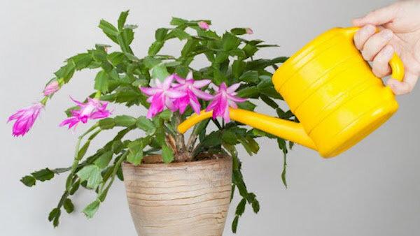 Что не любит декабрист: 6 главных противопоказаний в уходе за цветком.