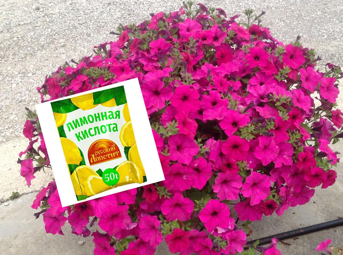 Лимонная кислота — настоящая находка для петунии. Результат не заставил себя ждать!