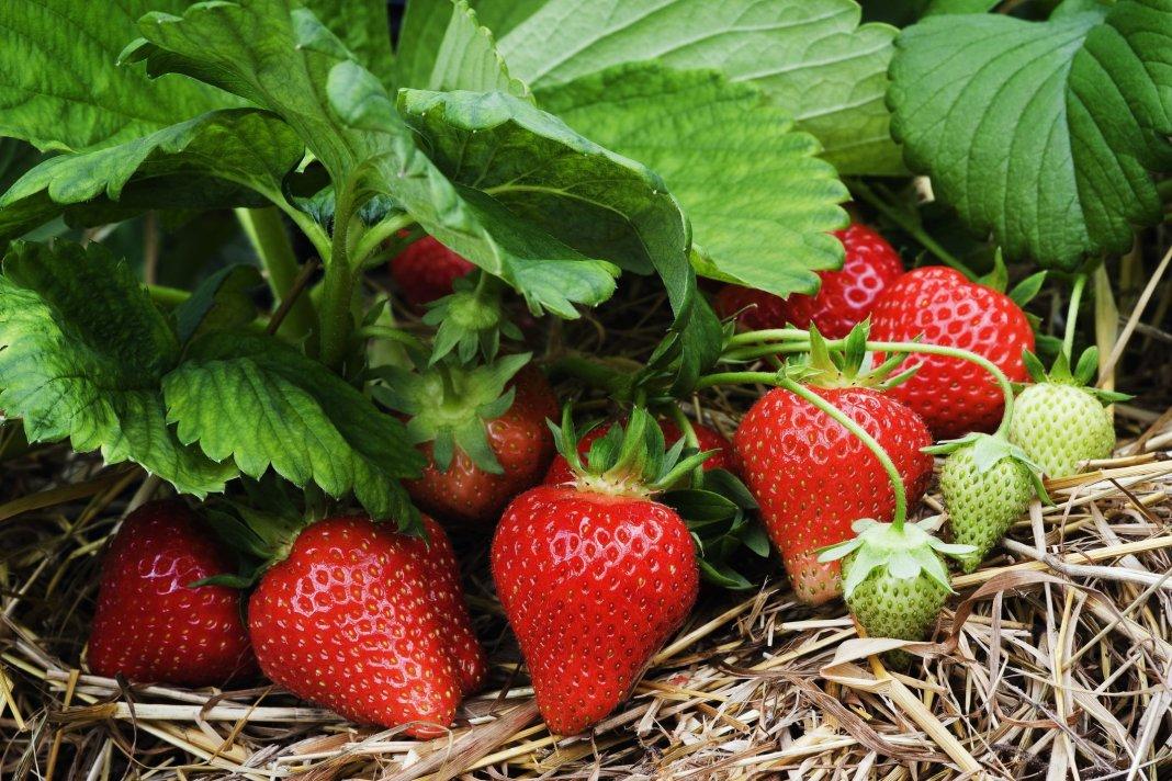 Что нужно сделать с клубникой после сбора урожая, чтобы через год она «завалила» урожаем.